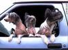 Dogsincars