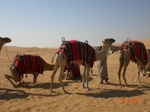 Camel_train_dubai
