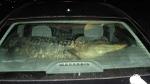 Texas_gator