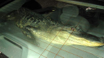 Texas_gator2